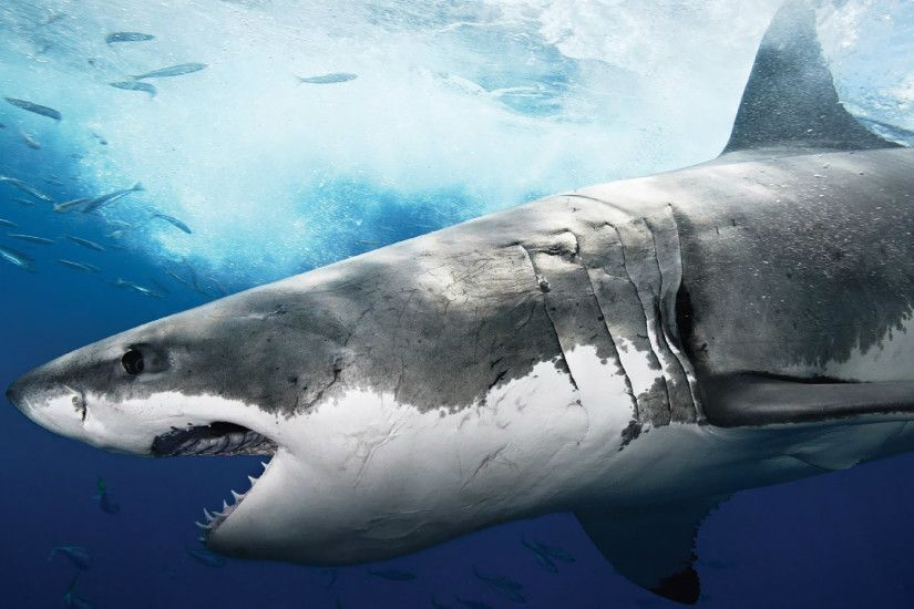 Largest Great White Shark Wallpaper