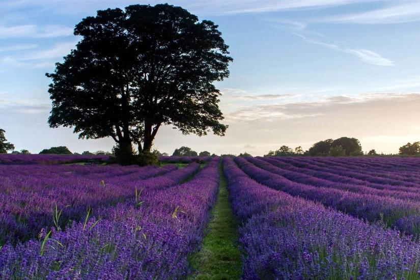 download free lavender wallpaper 1920x1200
