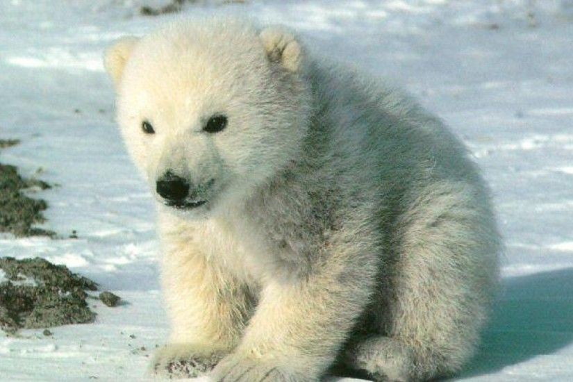 1920x1080 Bear Polar Bears Babies Baby Artic Image Wallpaper Animals Detail