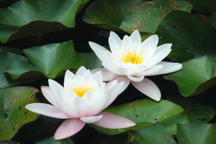 White Lotus Flower Wallpapers HD Wallpaper Black White Vector .