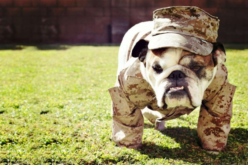 english bulldog wallpaper free