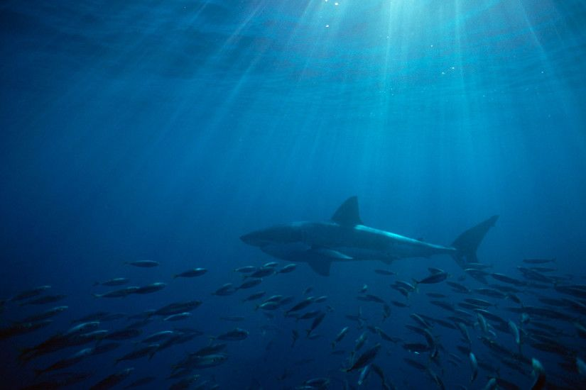 HD Pictures Great Shark Wallpaper 1080p - http://wallucky.com/hd