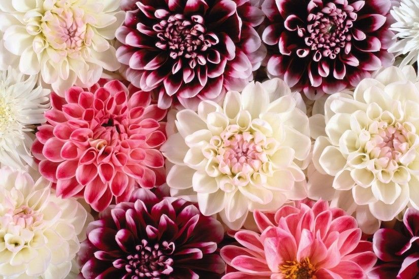 Pink And White Dahlia Background