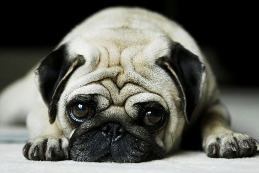 1920x1080 Pug Wallpapers | HD Wallpapers