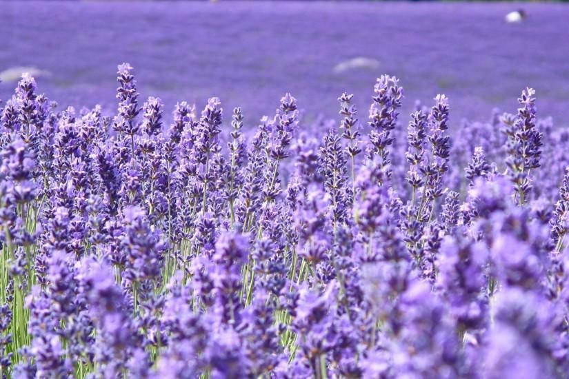 lavender background 1920x1280 hd 1080p