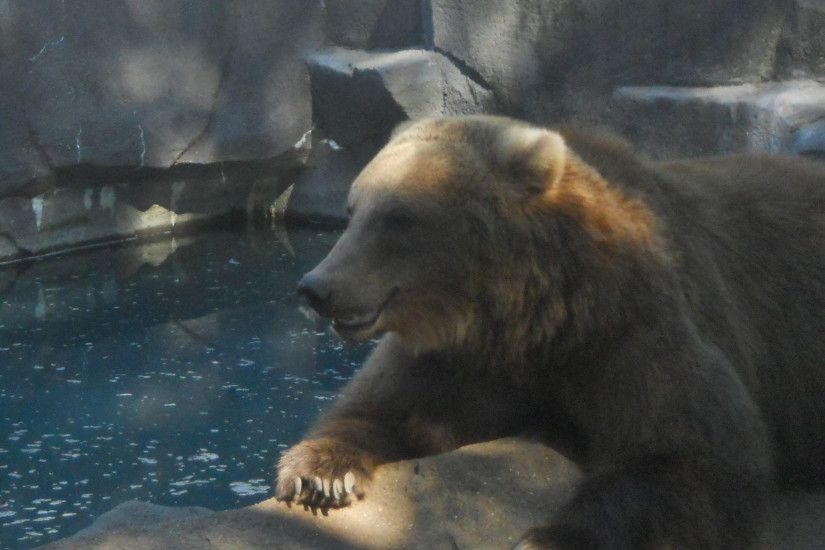 Zoos images A Grizzly Bear Chilling Out HD wallpaper and background photos
