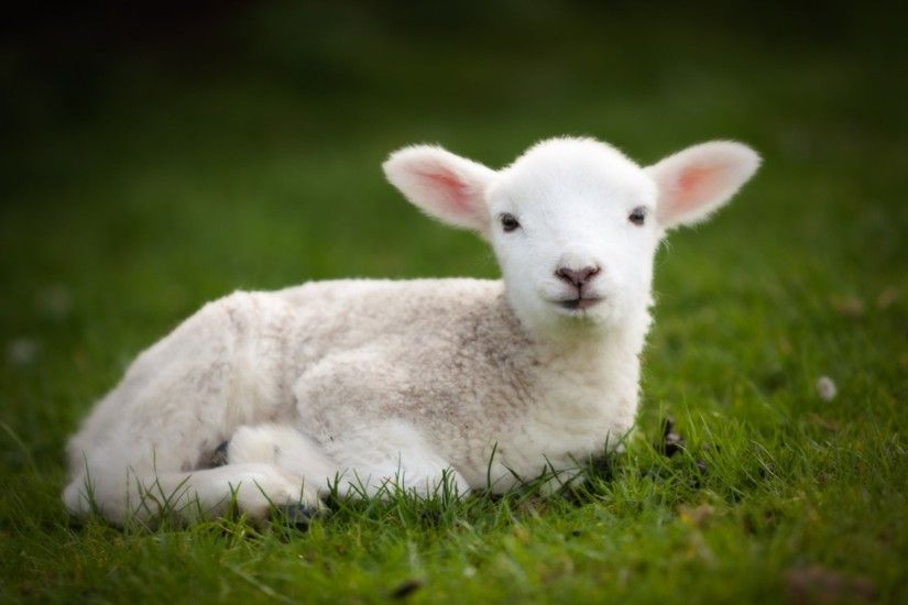 Baby sheep wallpapers Baby Animals