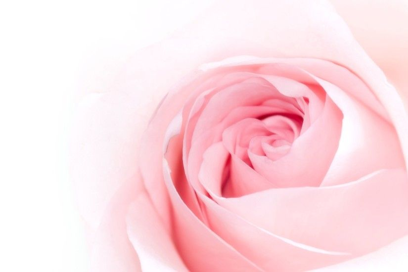 Pink Rose Stock Photos yalty Free Pink Rose Images And
