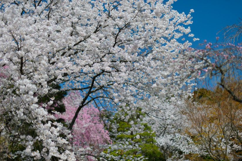 ... 2880×1800 · desktop background image of cherry blossoms ...