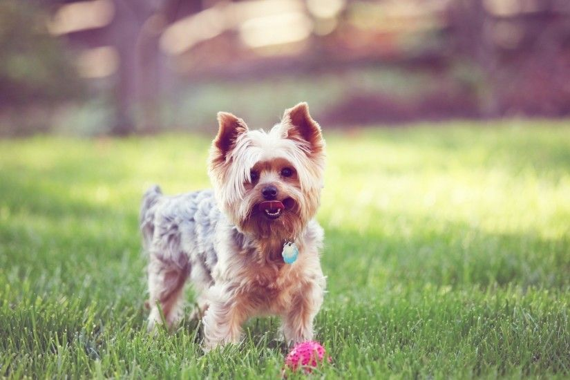 3840x2160 Wallpaper yorkshire terrier, walks, grass, dog, collar