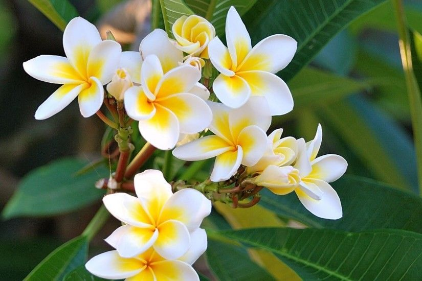 plumeria_green_white_leaves_24487_1920x1080.jpg