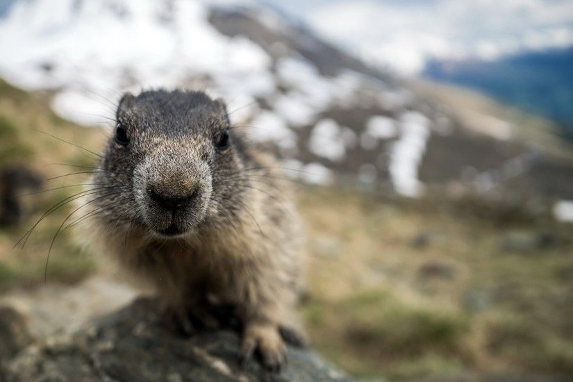 Picture Marmot Nose Animals Closeup 1920x1080