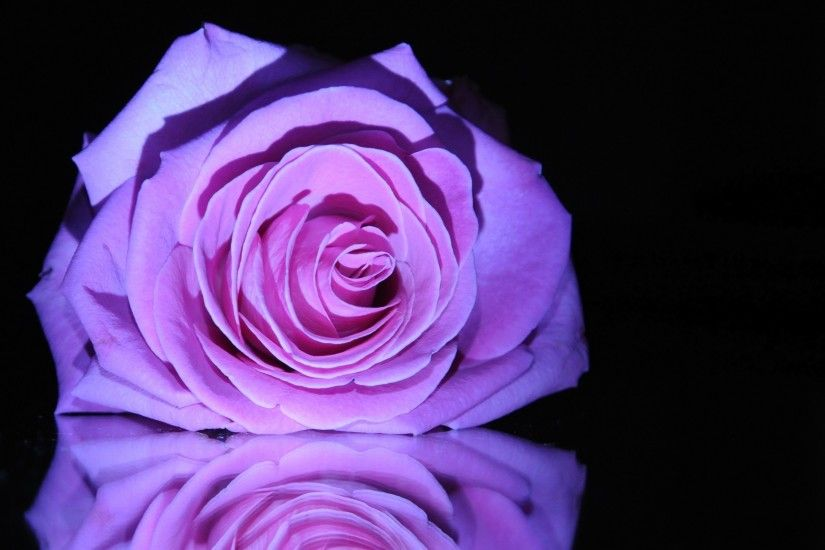 Nature Reflection Life Beautiful Still Love Purple Roses Photography Pretty  Beauty Flowers Rose Lovely Flower Wallpaper
