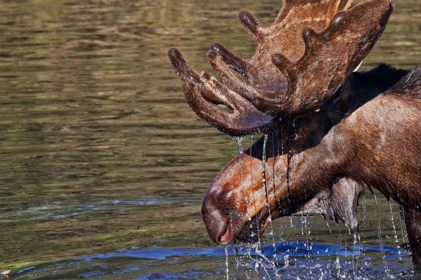 2048x1152 Wallpaper water, elk, antlers, head, drops