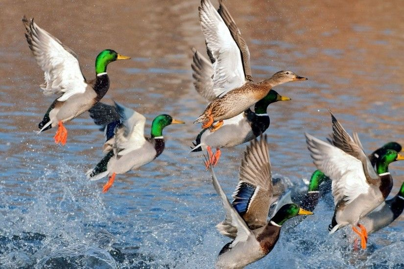 Mallard Duck Wallpaper | Mallard Duck Images | Cool Wallpapers
