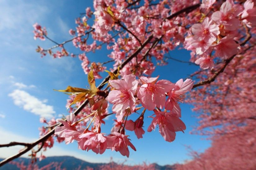 ... WallpaperSafari Cherry Blossom Wallpaper Home - WallpaperSafari ...