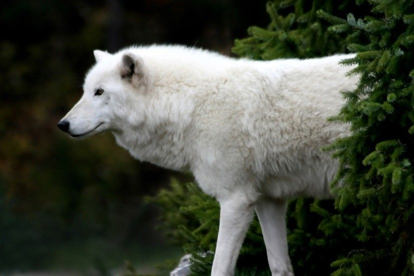 Arctic Wolf Wallpaper Wolves Animals Wallpapers