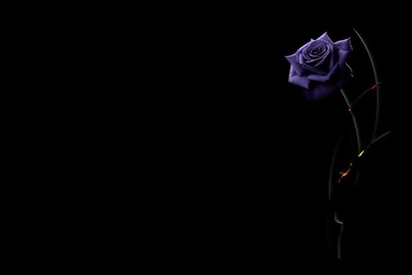 Beautiful purple rose on a black background wallpapers and images .
