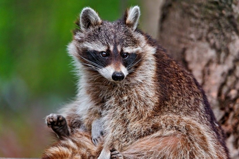 Get the latest raccoon, sitting, animal news, pictures and videos and learn  all about raccoon, sitting, animal from wallpapers4u.org, your wallpaper  news ...
