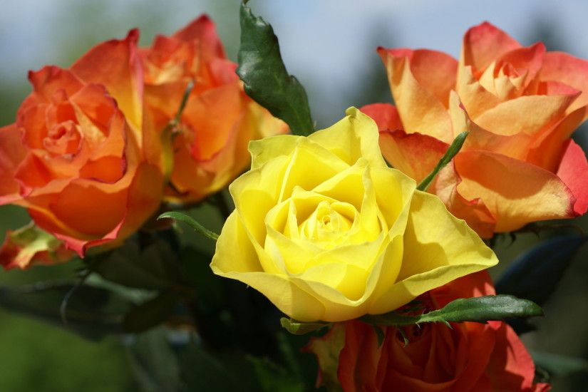 Yellow Roses 29677