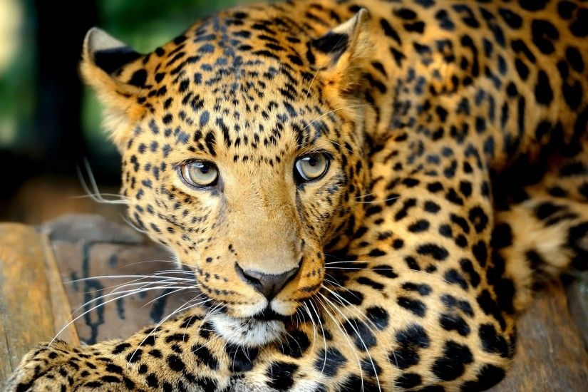 Free Leopard Wallpaper For Mac | ImageBank.biz