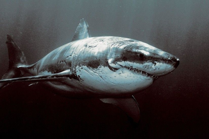 Great White Shark Wallpaper Hd 14038 Wallpapers HD | Hdpictureimages.