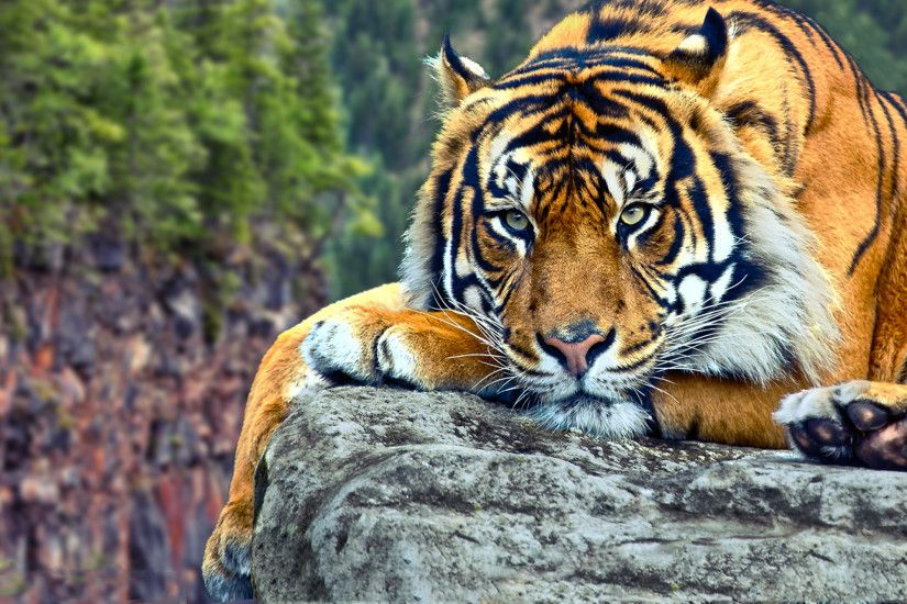 Tiger Wallpaper HD 40407