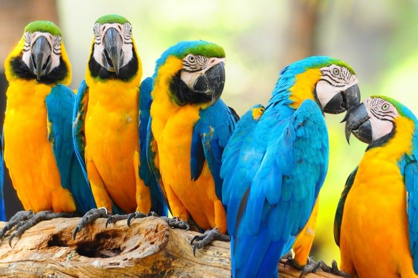 ... Cute Macaw Parrot Desktop HD Wallpaper 07