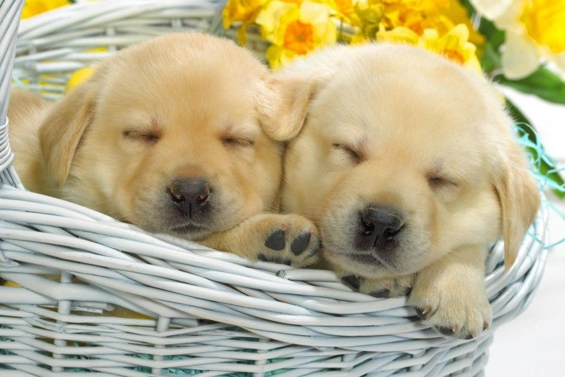 1920x1259 dogs puppies basket flowers roses dog puppies basket flower roses