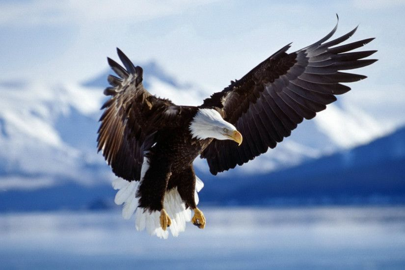 Bald Eagle HD Desktop Wallpapers