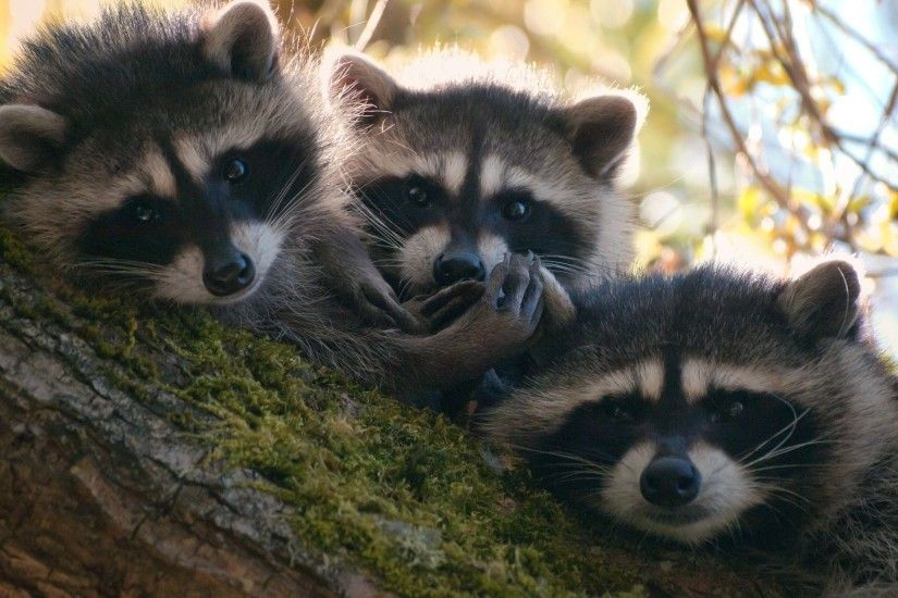 raccoons images Raccoons HD wallpaper and background photos