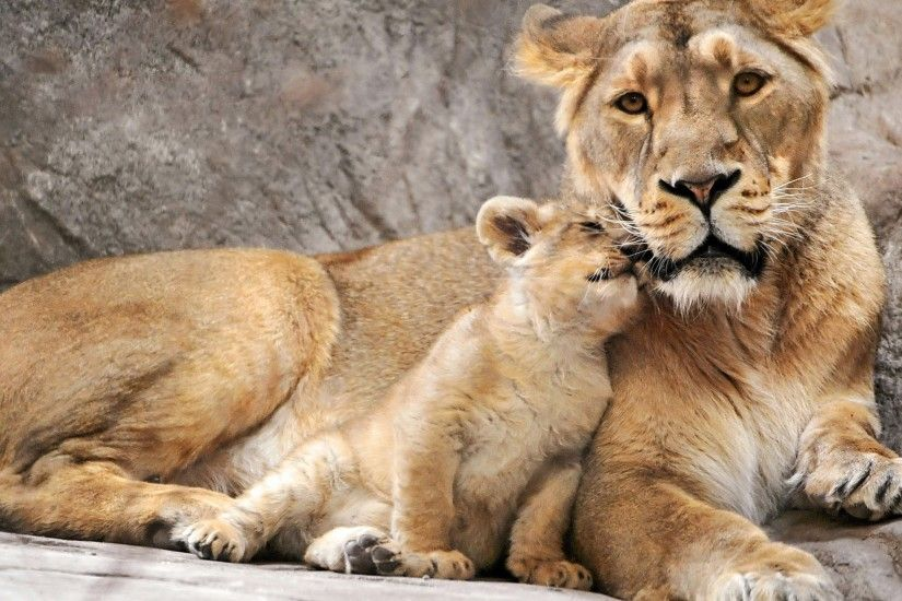 lioness and cub wallpaper