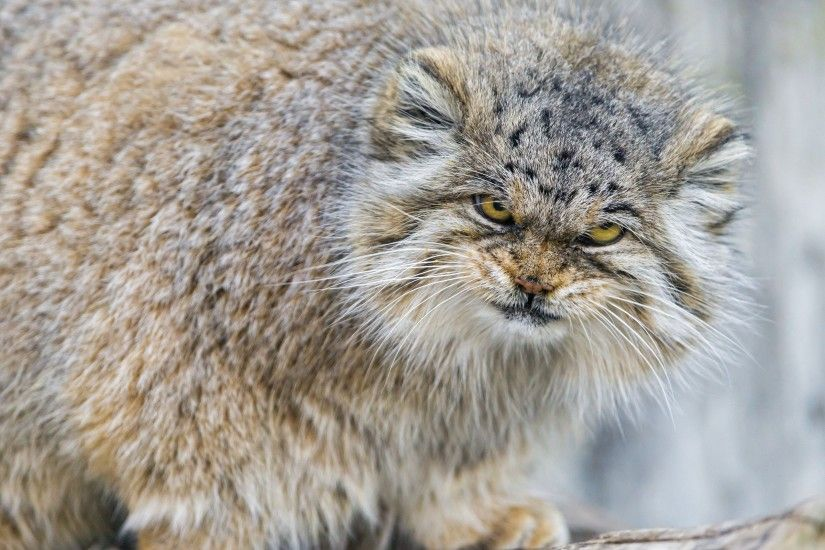 Animal - Pallas's Cat Wallpaper