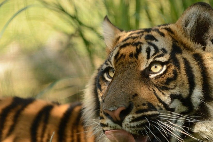 sumatran tiger, face, cat