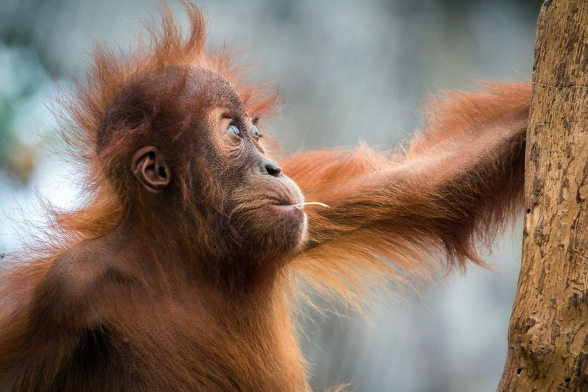 Monkeys Hair Animals orangutan wallpaper | 1920x1200 | 50735 | WallpaperUP
