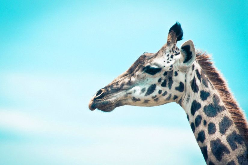 Collection of Giraffe Wallpaper on HDWallpapers 1920×1200 Giraffe Images  Wallpapers (41 Wallpapers)