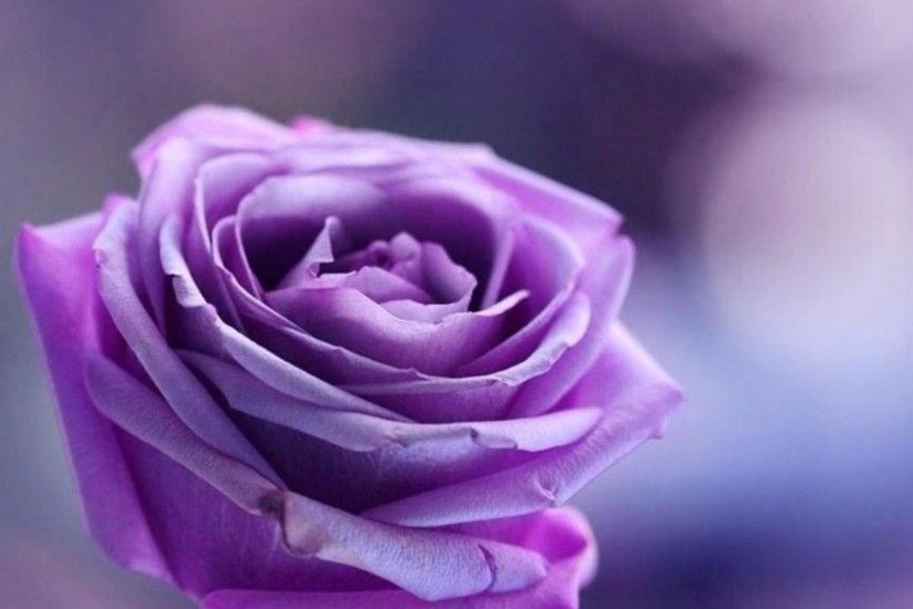 Purple rose on purple background wallpapers and images .