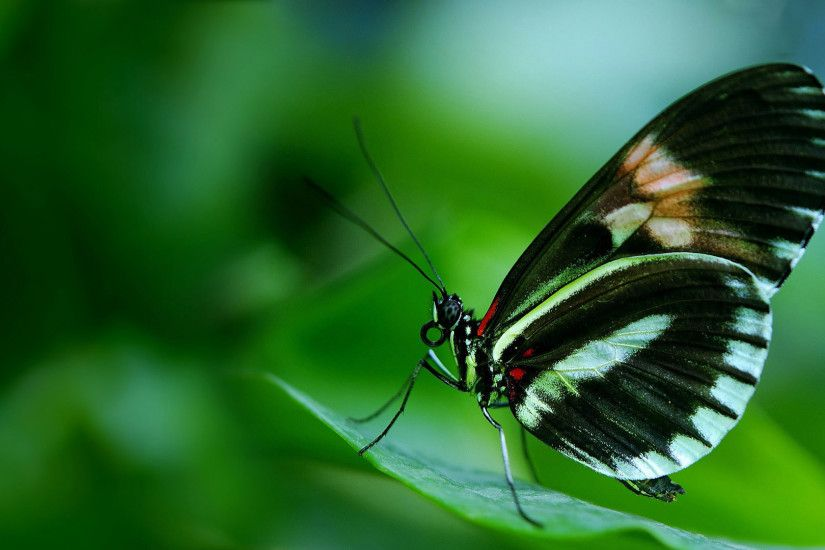 hd pics photos cute beautiful black butterfly macro attractive hd quality  desktop background wallpaper
