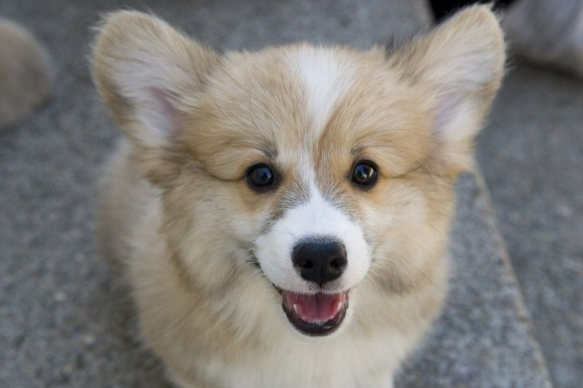 The Pembroke Welsh Corgi
