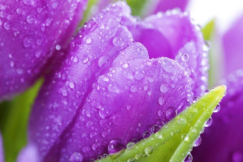 Cute Purple Tulips Flower Background