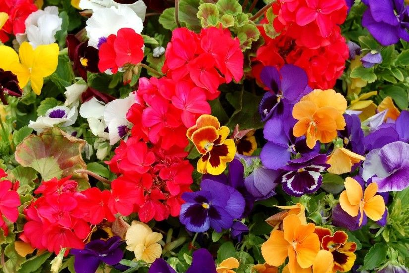 2560x1440 Wallpaper pansies, geraniums, flowers, colorful, different, lot