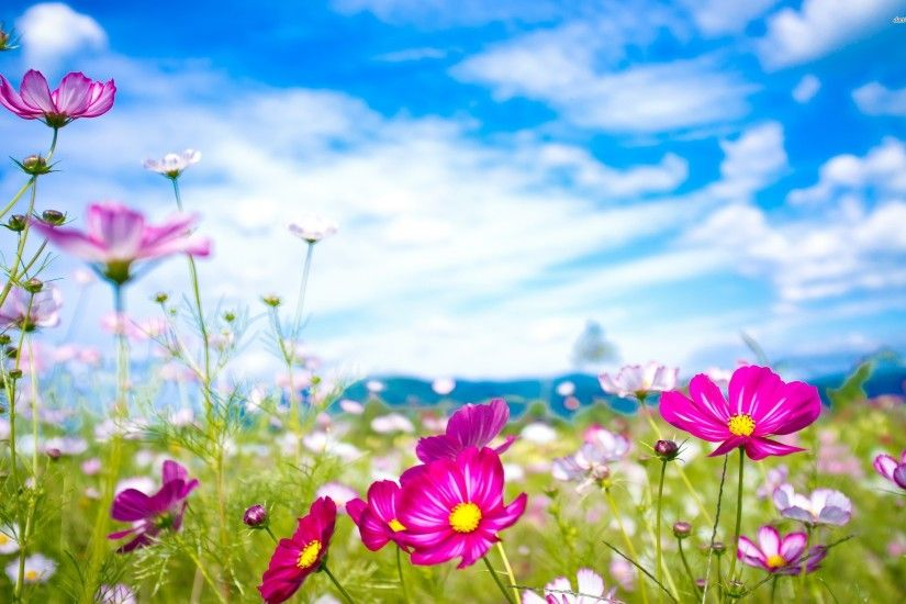 ... Colorful Cosmos Flowers 2560×1600 Flower Wallpaper Flowers Wallpapers  ...