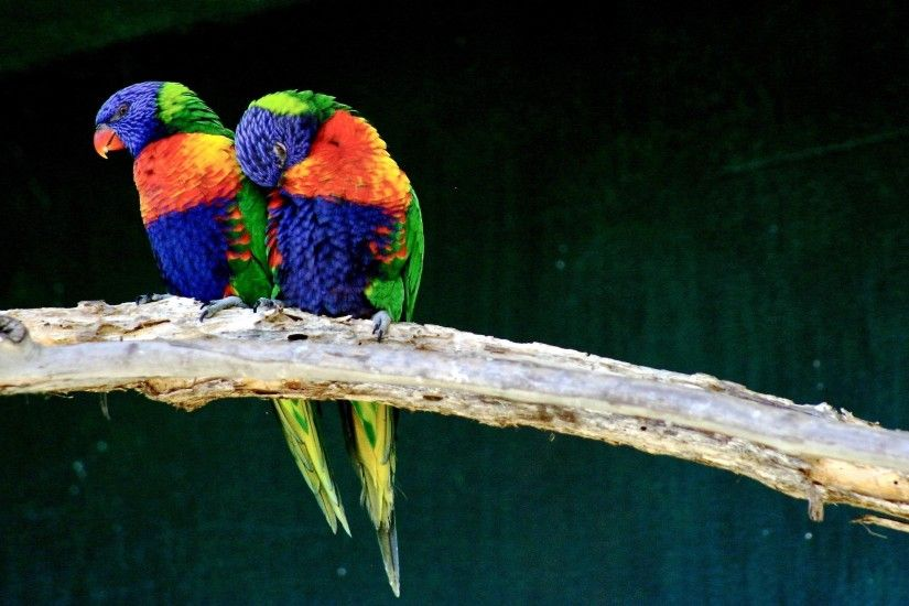 desktop love birds images wallpaper
