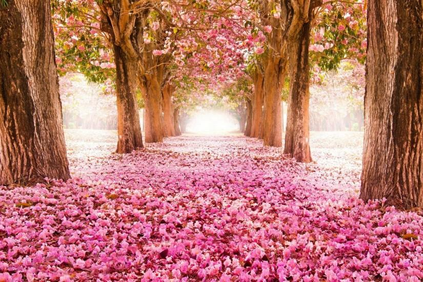 Pink blossom flowers Spring tree hd wallpaper