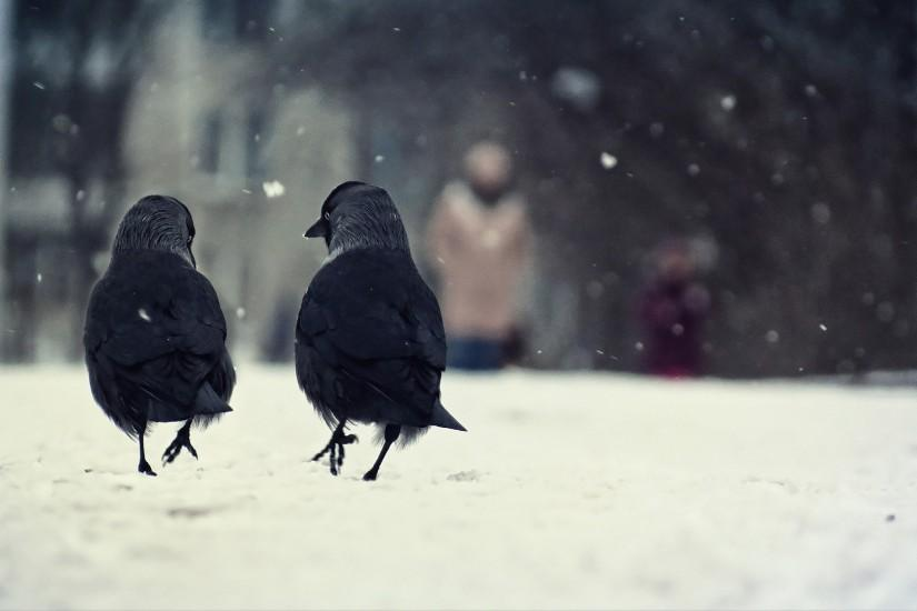 snow birds crow Wallpaper HD