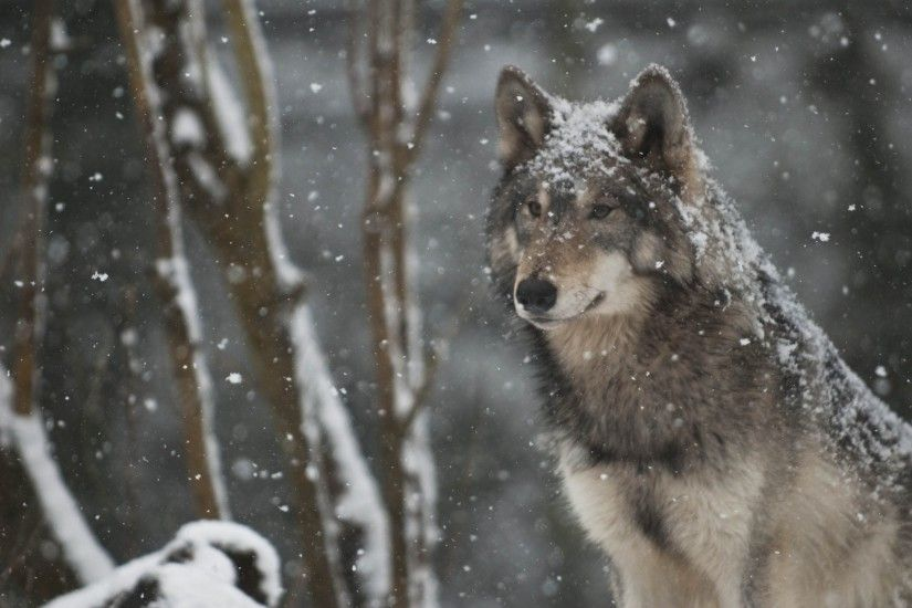 Amazing Wolves images Handsome Wolf HD wallpaper and background photos