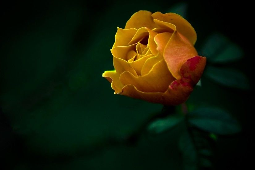 Yellow Roses Wallpapers HD backgrounds.