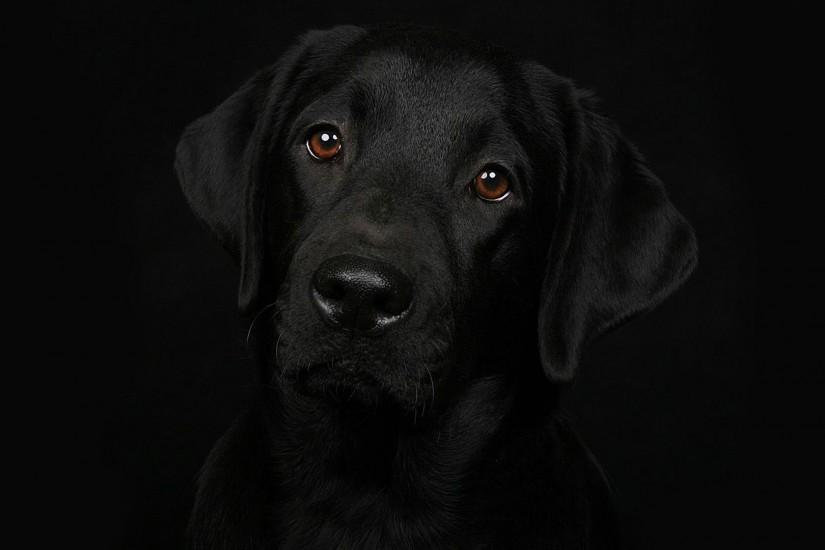 hd pics photos stunning pure black dog attractive dark hd quality desktop  background wallpaper