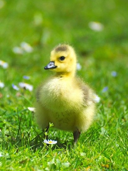 Fluffy Baby Goose