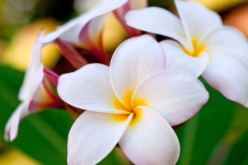 6. plumeria-flower-wallpaper6-600x338
